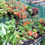 begonia house staging