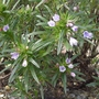 Lithodora_zahnii_2014