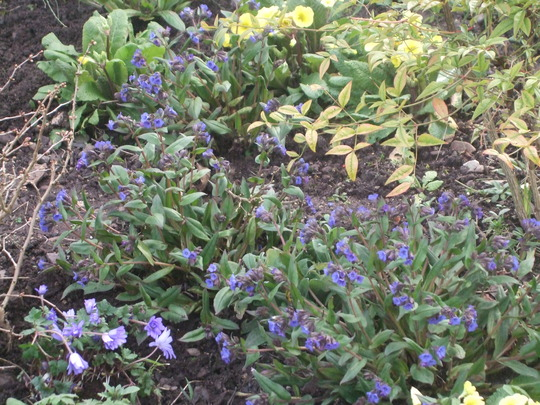 Blue and yellow (Pulmonaria)