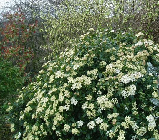 Viburnum Tinus 'Eve Price', Ribes 'White Icicle' and Photinia  (Viburnum tinus (Laurustinus))