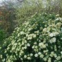 Viburnum Tinus 'Eve Price', Ribes 'White Icicle' and Photinia  (Viburnum tinus (Laurustinus))