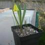 Fritillaria pudica (Fritillaria pudica (Yellow Bell))