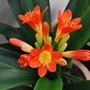 Clivia Flowers..... (Clivia miniata (Clivia))