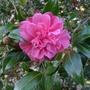 Camellia_red_2014