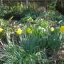 Narcissus obvallaris (Narcissus obvallaris (Tenby daffodil))