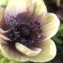 Moody Purple (Anemone coronaria (Poppy anemone))