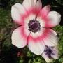 002 (Anemone coronaria (Poppy anemone))