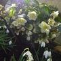 hellebores flowering madly.