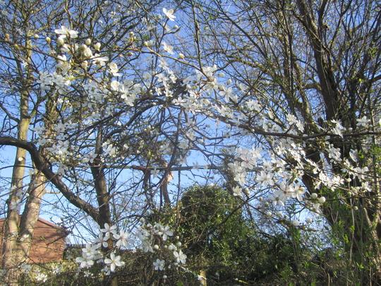 Greengage plum is in blossom. (Prunus domestica (Plum))