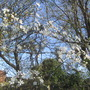 Greengage plum is in blossom. (Prunus domestica (Plum))