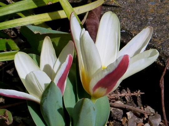 Tulip   ..   Hearts Delight  (Tulip)