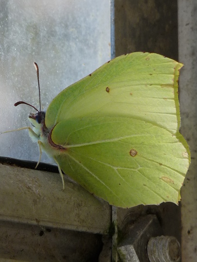 Brimstone butterfly just awakening