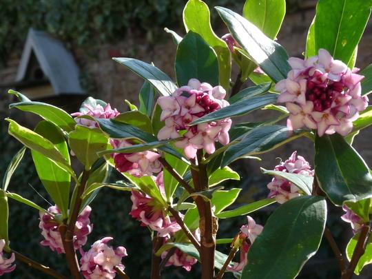 Daphne odorata (Daphne odora (Daphne))