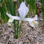 Iris_reticulata_white_caucasus_2014