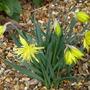 Narcissus_rip_van_winkle