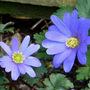 Wood_anemone