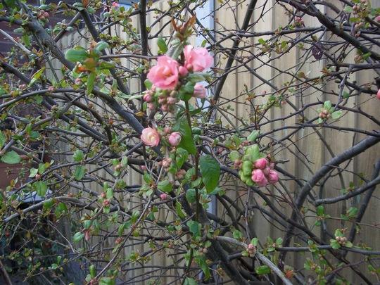 Chaenomeles japonica  - Flowering Quince closeup 140224 (Chaenomeles speciosa (Flowering quince))