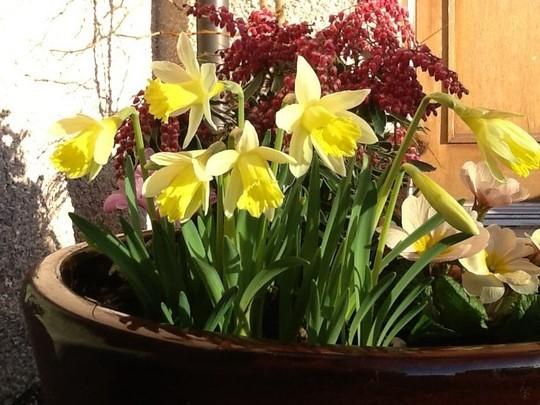Topolino (Narcissus 'Topolino')