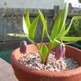 Fritillaria minuta 2014 (Fritillaria minuta)