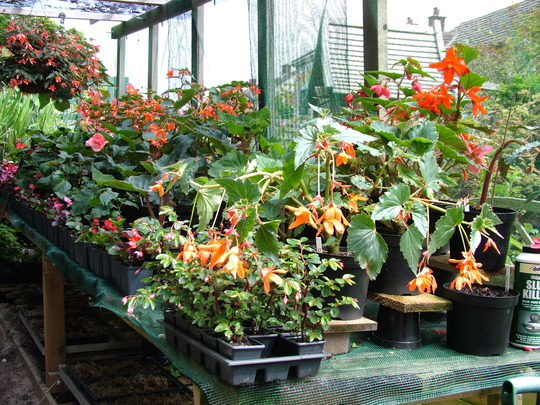 cliffs Begonia collection 2