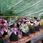 cliffs begonia collection 4