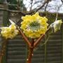 Edgeworthia chrysantha - 2014 (Edgeworthia chrysantha)