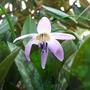Erythronium dens-canis (Dog Tooth Violet)