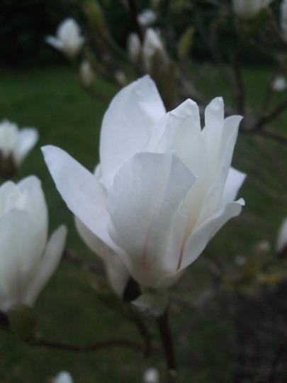 Magnolia flower. (Magnolia x soulangeana (Saucer magnolia))