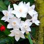 Narcissus_papyraceus