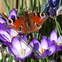 585_butterfly_and_crocus_flowers