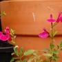Salvia microphylla (Salvia microphylla)