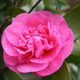 Camellia 'Debbie'