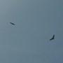buzzards up high circling enjoying the sunshine
