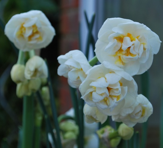 Narcissus Bridal Crown.... (Daffodil Bridal Crown...)