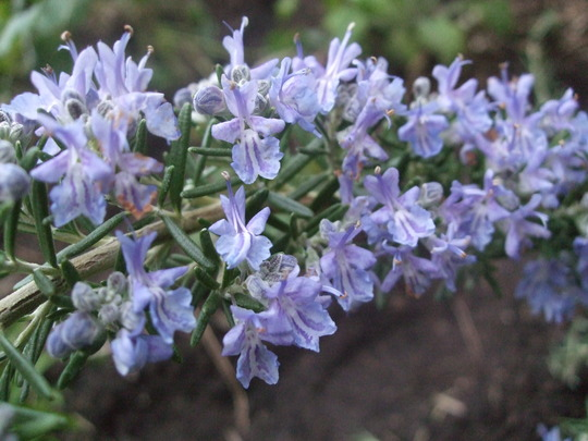 Rosmarinus officinalis 'Pointe du Raz'