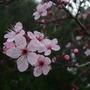 Prunus_cerasifolius