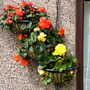 cliffs begonia collection 6