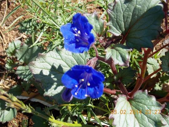 Phacelia Campanularia - Arizona Blue Bells