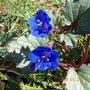 Phacelia Campanularia - Arizona Blue Bells