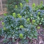 Euphorbia_amygdaloides_var_robbiae_2014