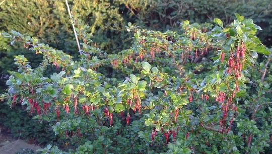 Ribes speciosum - 2014 (Ribes speciosum)