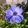 Anemone_purple