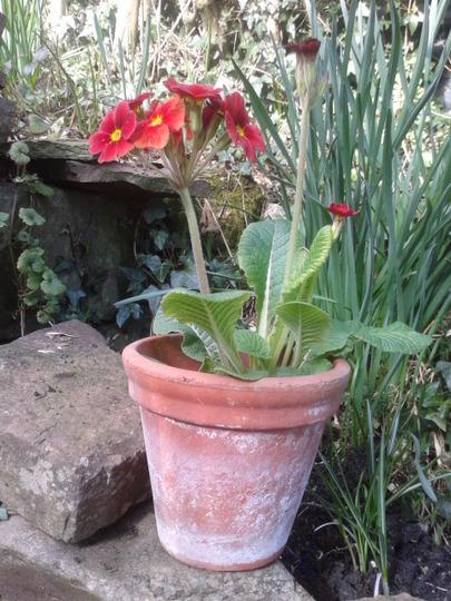 "Primula ""Regal Red"""