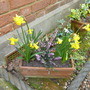 Narcissus Tete a Tete with Heather Darley Dale