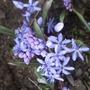 Scilla bifolia (Scilla bifolia)