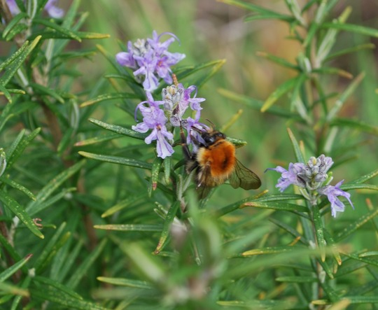 Bee on Rosemary plant...... (Rosmarinus officinalis (Rosemary))