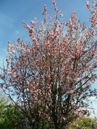 Prunus cerasifera 'Atropurprea' (Prunus cerasifera 'Atropurpurea')