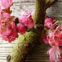 Peach_blossom_16.03.2014