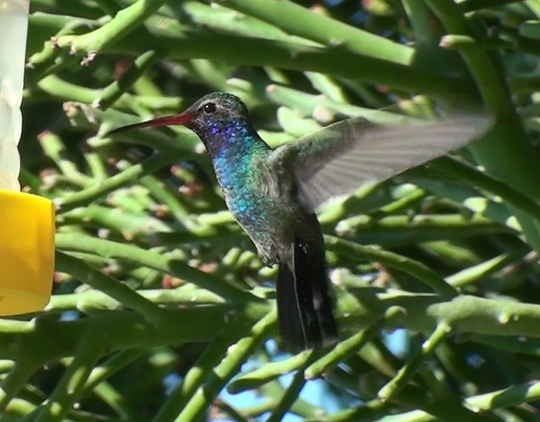 Hummingbird ((Cynanthus latirostris))