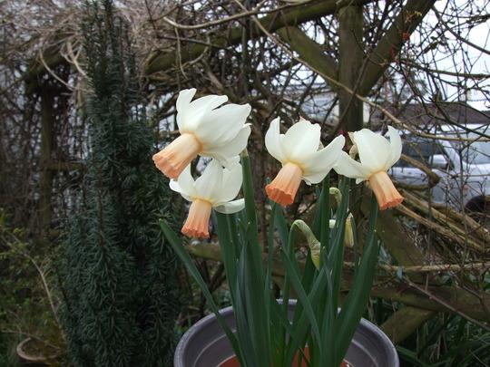 Narcissus Cotinga